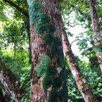 aguisur-caribetours-cahuita-kletterpflanzen