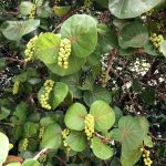 aguisur-caribetours-cahuita-pflanzen