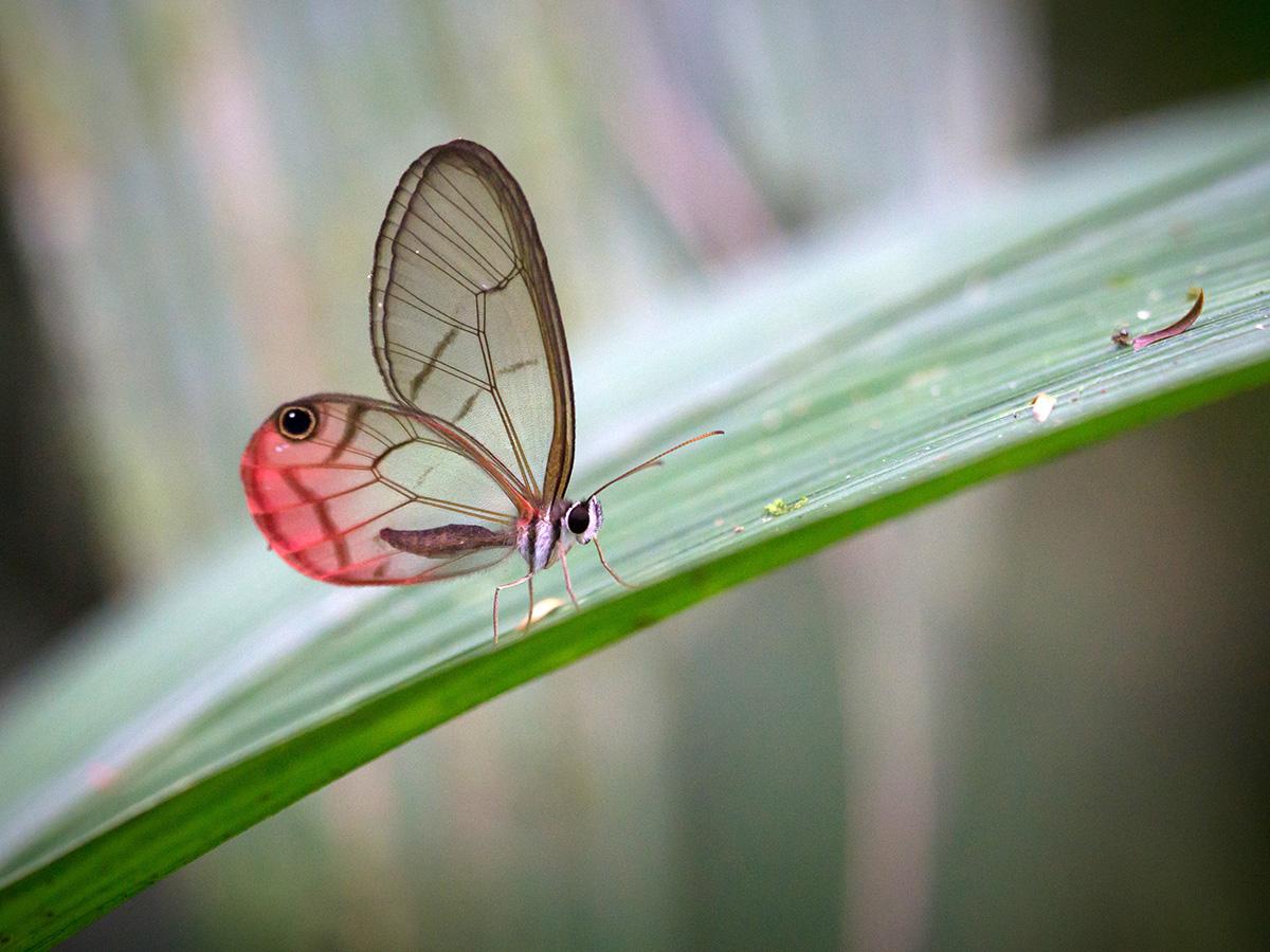aguisur-caribetours-cahuita-schmetterling