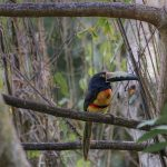 aguisur-caribetours-cahuita-vogel