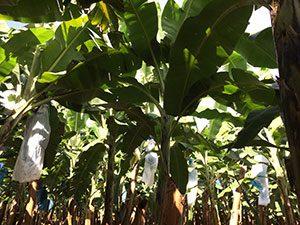 aguisur-caribetours-costarica-bananenplantage