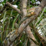 aguisur-caribetours-echse-Gandoca-Manzanillo-Schutzgebiet