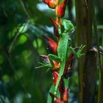aguisur-caribetours-echseaufpflanze-Gandoca-Manzanillo-Schutzgebiet