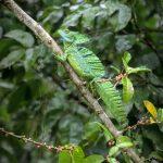 aguisur-caribetours-echsegruen-Gandoca-Manzanillo-Schutzgebiet