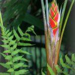 aguisur-caribetours-pflanzebluete-Gandoca-Manzanillo-Schutzgebiet