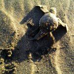 aguisur-caribetours-tortuguero-babyturtle