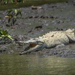 aguisur-caribetours-tortuguero-krokodil