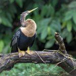aguisur-caribetours-voegel-Gandoca-Manzanillo-Schutzgebiet_q
