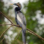 aguisur-caribetours-vogel-Gandoca-Manzanillo-Schutzgebiet_q