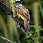 aguisur-caribetours-vogelbunt-Gandoca-Manzanillo-Schutzgebiet_q