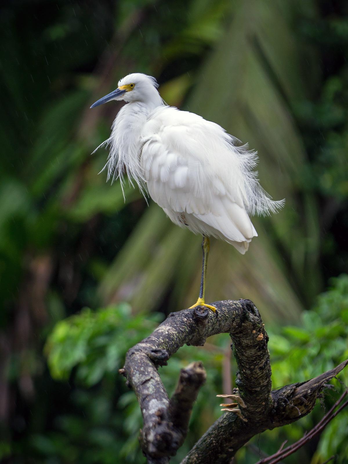aguisur-caribetours-vogelweiss-Gandoca-Manzanillo-Schutzgebiet_q