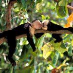 aguisur-costarica-caribetours-affen-toue-nicht-alles-banane