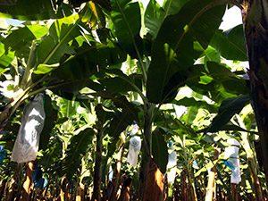 aguisur-costarica-caribetours-bananenplantage