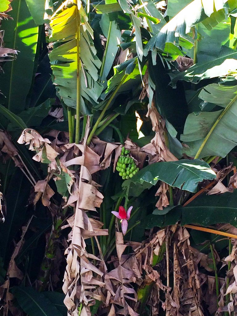 aguisur-costarica-caribetours-bananenstaude-tour-nicht-alles-banane-q