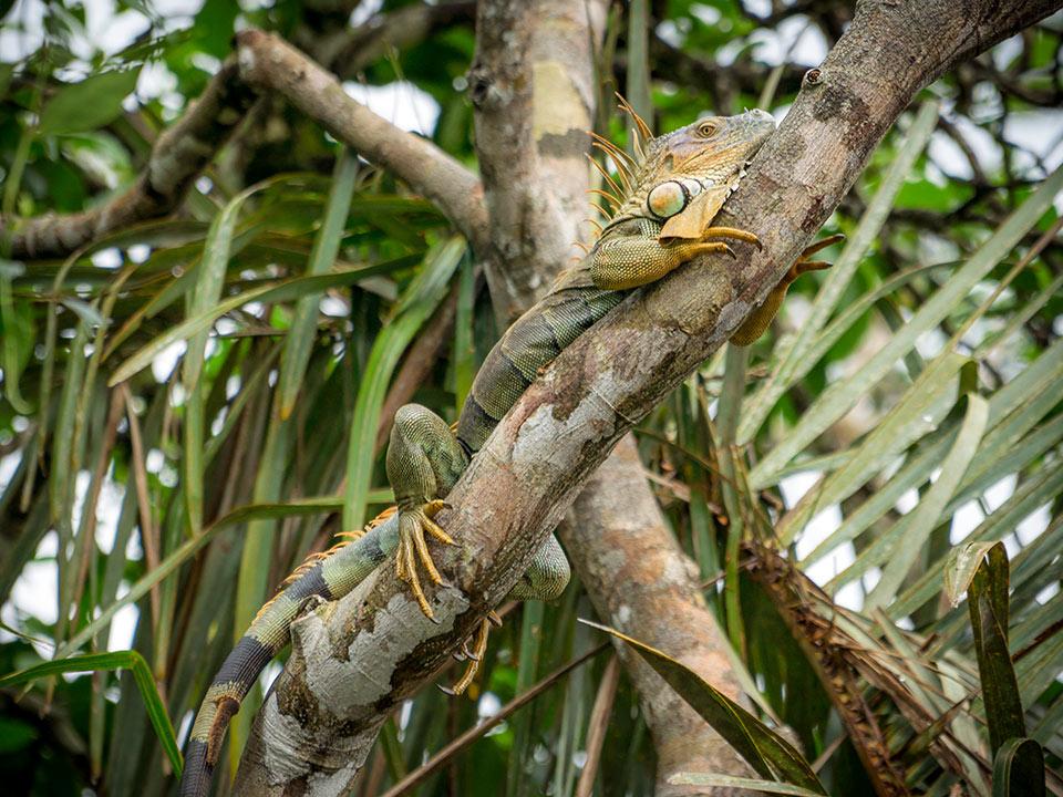 aguisur-costarica-caribetours-echse-tour-nicht-alles-banane-q