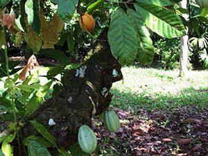 aguisur-costarica-caribetours-kakaopflanze