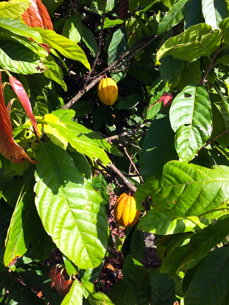 aguisur-costarica-caribetours-kakaopflanze-tour-nicht-alles-banane-q