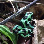 aguisur-costarica-caribetours-landausflug-frosch-gruen-natur-und-kultur-