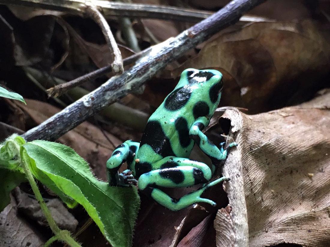 aguisur-costarica-caribetours-landausflug-frosch-gruen-natur-und-kultur